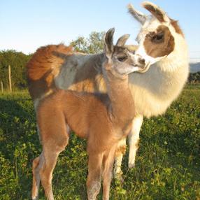 Les lamas et le safran de Salagine