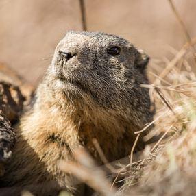 Marmots croqueurs