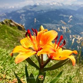 Découverte des plantes comestibles et médicinales de Savoie