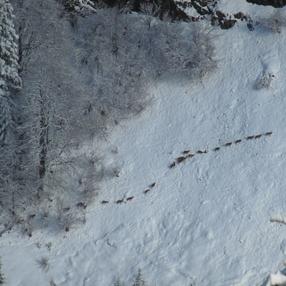 Randonnées raquettes : Sortie mouflons-chamois
