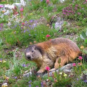 Approche des marmottes