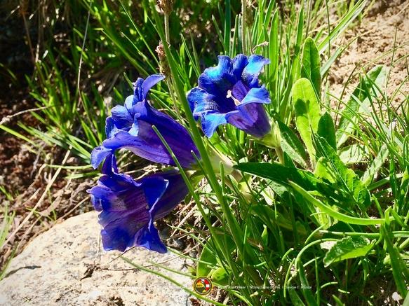 Plantes comestibles et médicinales de Savoie