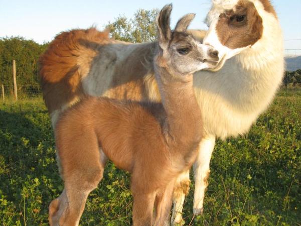 Les lamas et le safran de Salagine image