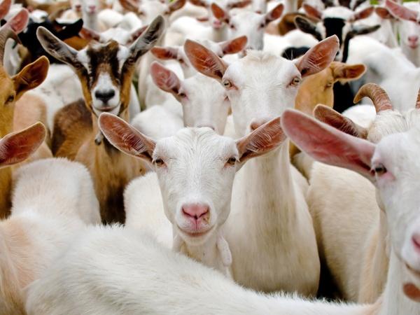 La Chèvrerie des Oulettes