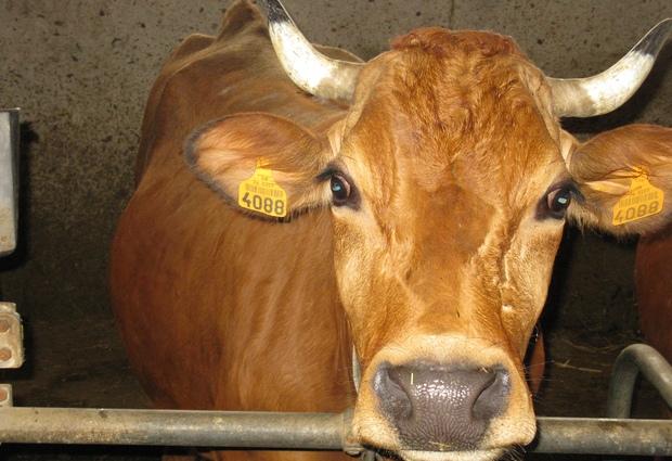 Visite à la ferme, traite des vaches et fabrication du fromage