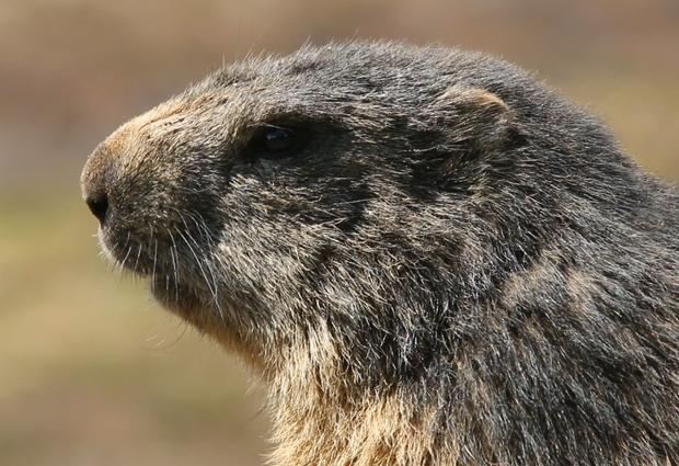 Cinéma de montagne - le clan des marmottes