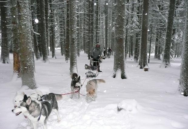 Conduire un attelage de chiens de traîneaux