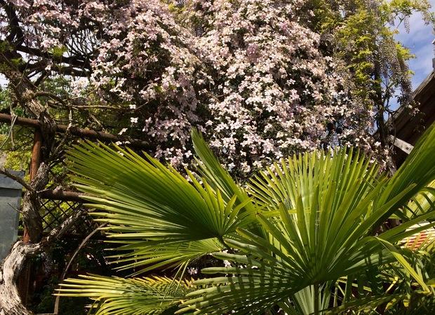 Clématite Montana en fleur