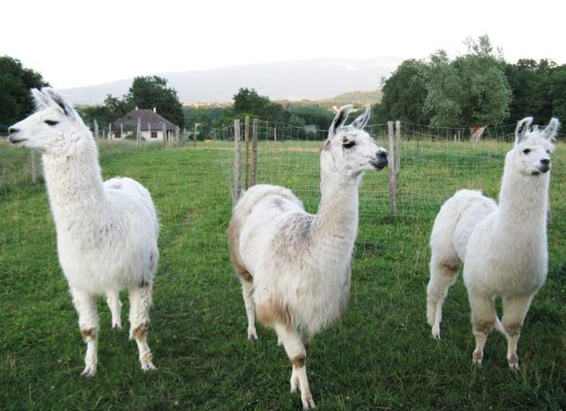 Lamas de Salagine - Bloye